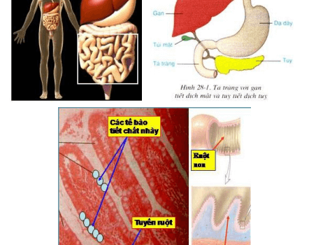 Quá trình tiêu hóa thức ăn ở ruột non