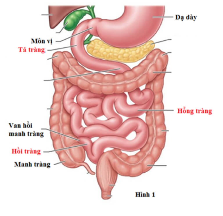Quá trình tiêu hóa thức ăn ở ruột non quan trong nhất