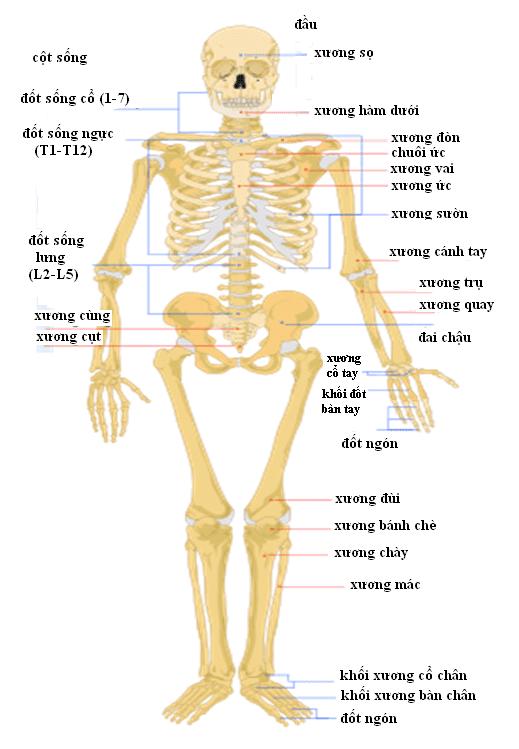 Bộ xương người gồm mấy phần?