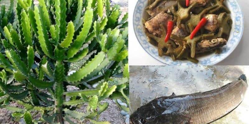 Canh cá lóc với xương rồng chữa thoát vị đĩa đệm