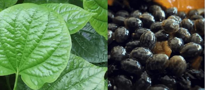 Kết hợp hạt đu đủ với lá lốt chữa gai cột sống