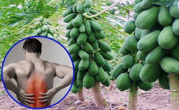 Chú ý khi chữa đau lưng bằng quả đu đủ xanh