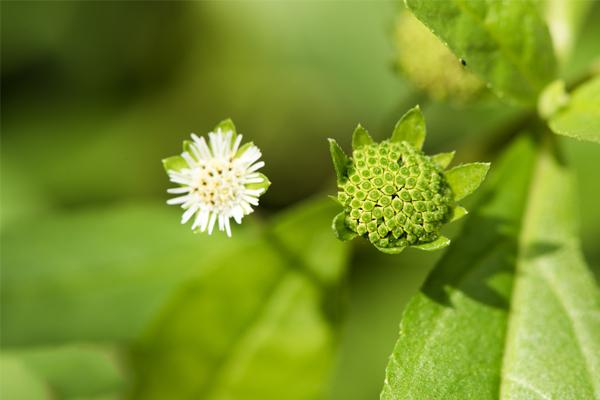 Cây nhọ nồi chữa bệnh trĩ kết với các loại thảo dược khác