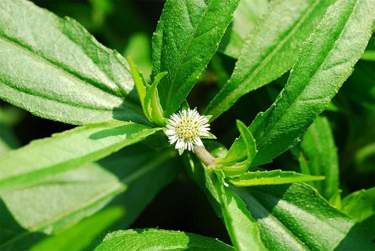 Cỏ mực kết hợp cùng thảo dược thiên nhiên chữa viêm họng
