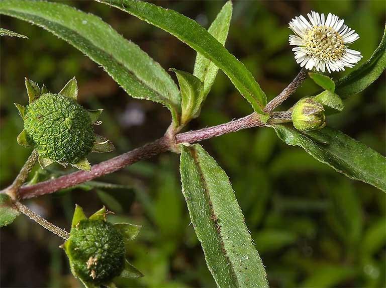 Các cách chữa viêm họng bằng cỏ mực hiệu quả