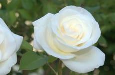 Trị ho có đờm bằng hoa hồng bạch